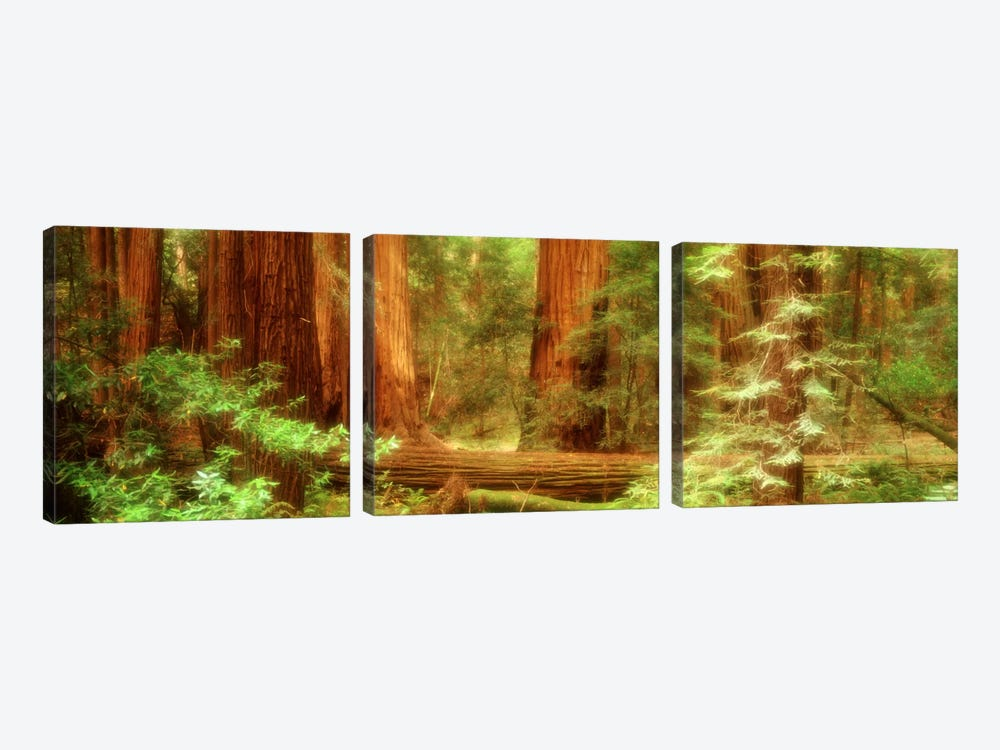 Coastal Redwoods, Muir Woods National Monument, Marin County, California, USA by Panoramic Images 3-piece Canvas Wall Art