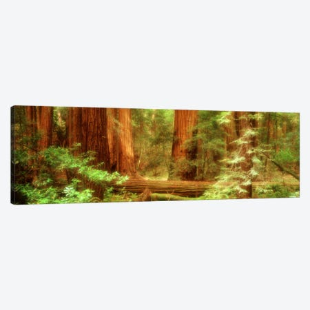Coastal Redwoods, Muir Woods National Monument, Marin County, California, USA 3-Piece Canvas #PIM600} by Panoramic Images Canvas Artwork