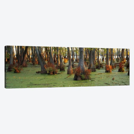 Bald cypress trees (Taxodium disitchum) in a forest, Illinois, USA Canvas Print #PIM6011} by Panoramic Images Canvas Print