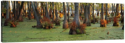 Bald cypress trees (Taxodium disitchum) in a forest, Illinois, USA Canvas Art Print