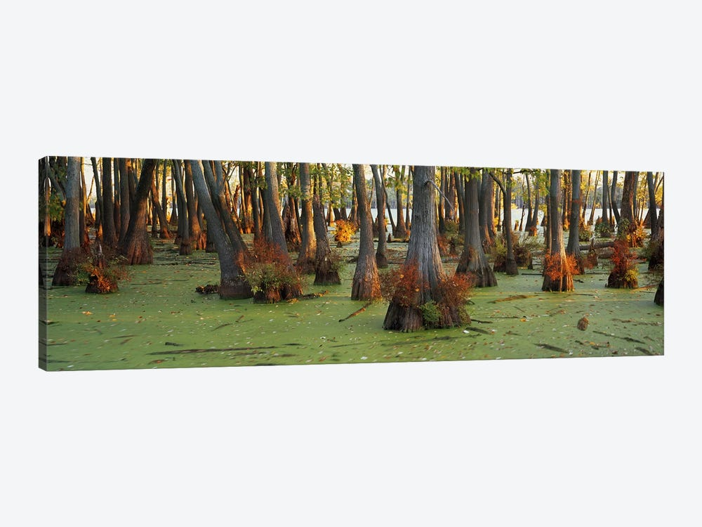 Bald cypress trees (Taxodium disitchum) in a forest, Illinois, USA by Panoramic Images 1-piece Canvas Wall Art