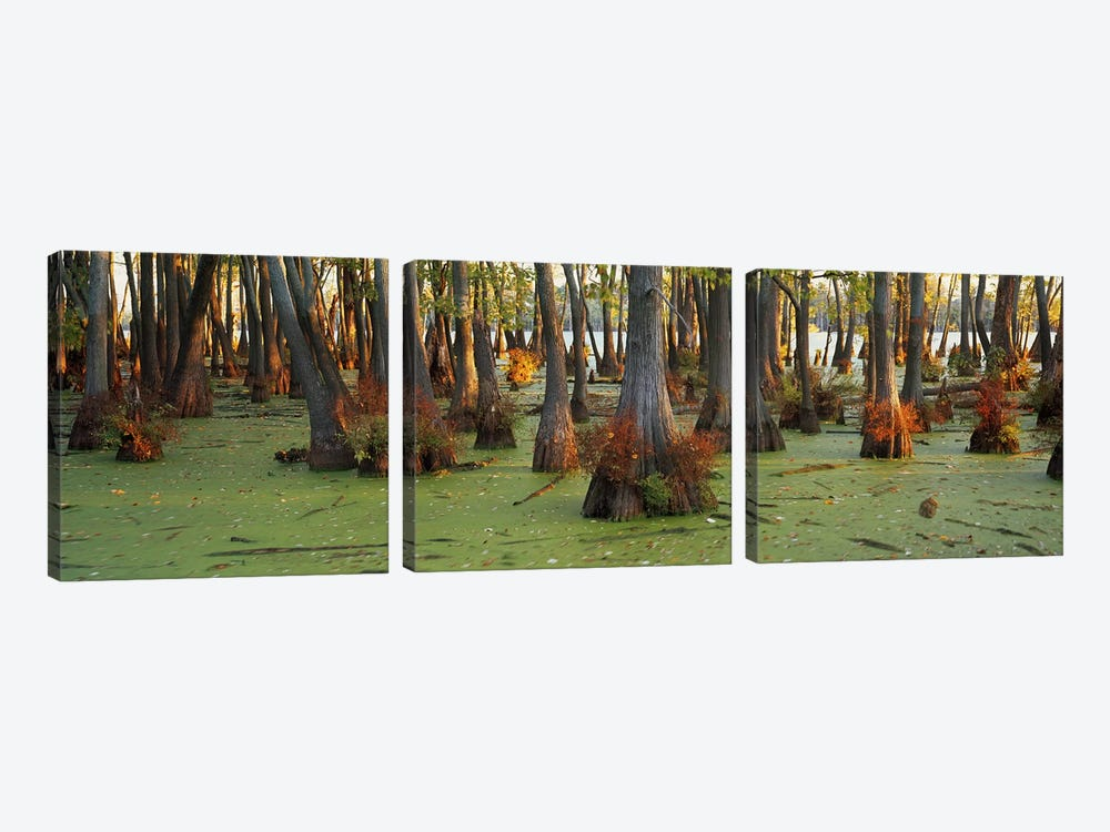 Bald cypress trees (Taxodium disitchum) in a forest, Illinois, USA by Panoramic Images 3-piece Canvas Wall Art
