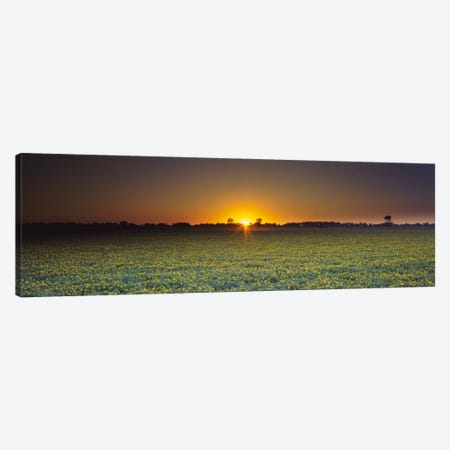 Field of Safflower at dusk, Sacramento, California, USA Canvas Print #PIM613} by Panoramic Images Canvas Print
