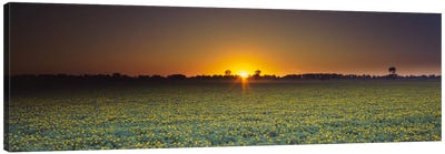 Field of Safflower at dusk, Sacramento, California, USA Canvas Art Print