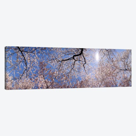 Low angle view of Cherry Blossom treesWashington DC, USA Canvas Print #PIM6329} by Panoramic Images Art Print