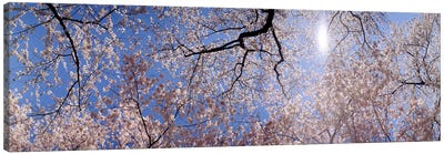 Low angle view of Cherry Blossom treesWashington DC, USA Canvas Print #PIM6329