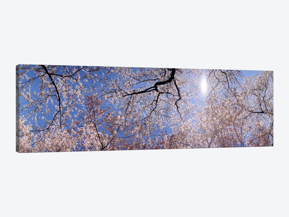 Low angle view of Cherry Blossom treesWashington DC, USA 1-piece Art Print
