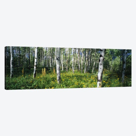 Field of Rocky Mountain Aspens Canvas Print #PIM6336} by Panoramic Images Canvas Art Print