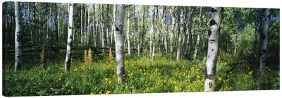 Field of Rocky Mountain Aspens Canvas Art Print
