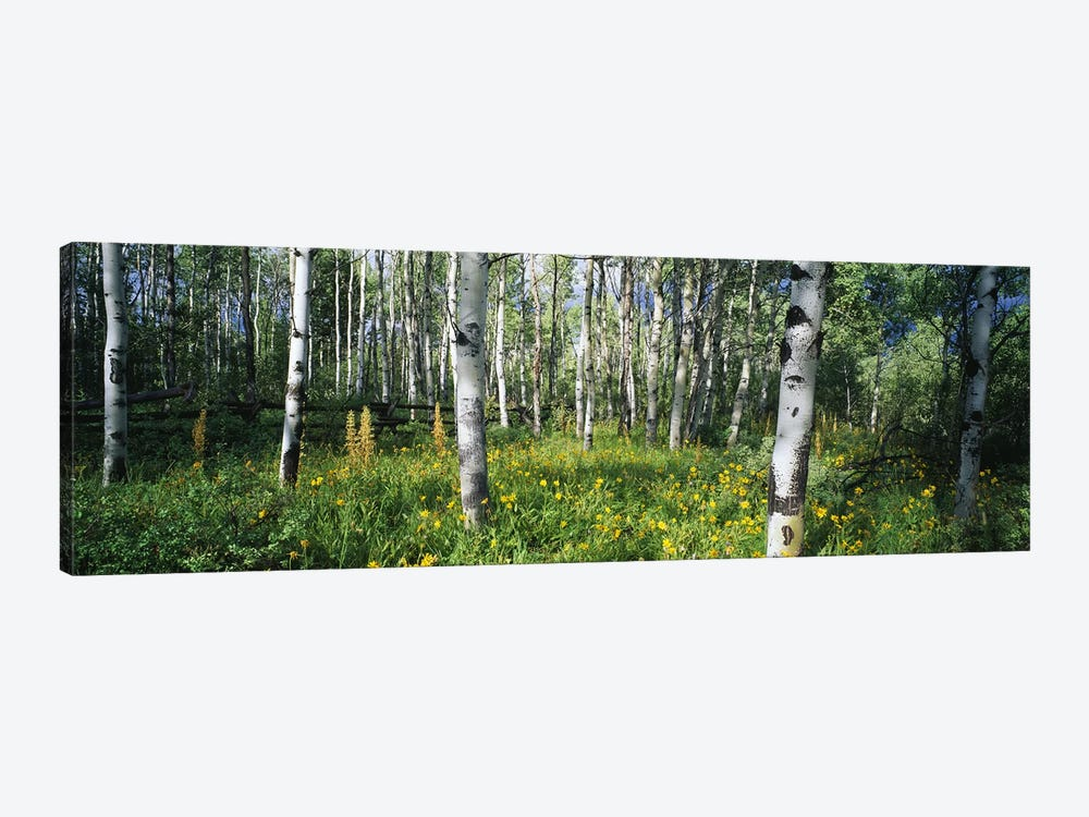 Field of Rocky Mountain Aspens by Panoramic Images 1-piece Canvas Print