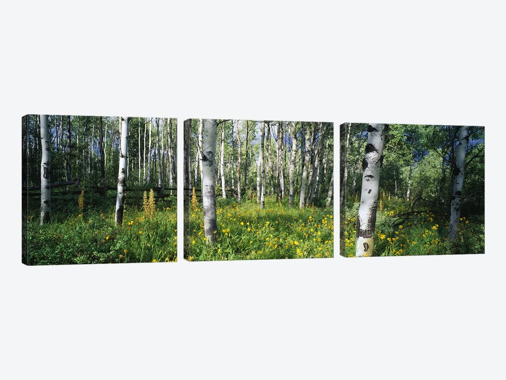 Field of Rocky Mountain Aspens by Panoramic Images 3-piece Art Print
