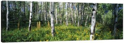 Field of Rocky Mountain Aspens Canvas Art Print
