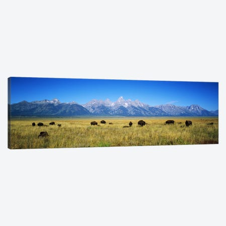 Field of Bison with mountains in backgroundGrand Teton National Park, Wyoming, USA Canvas Print #PIM6337} by Panoramic Images Canvas Print