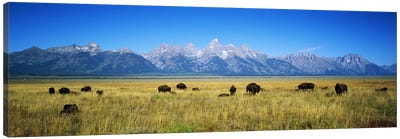 Field of Bison with mountains in backgroundGrand Teton National Park, Wyoming, USA Canvas Art Print