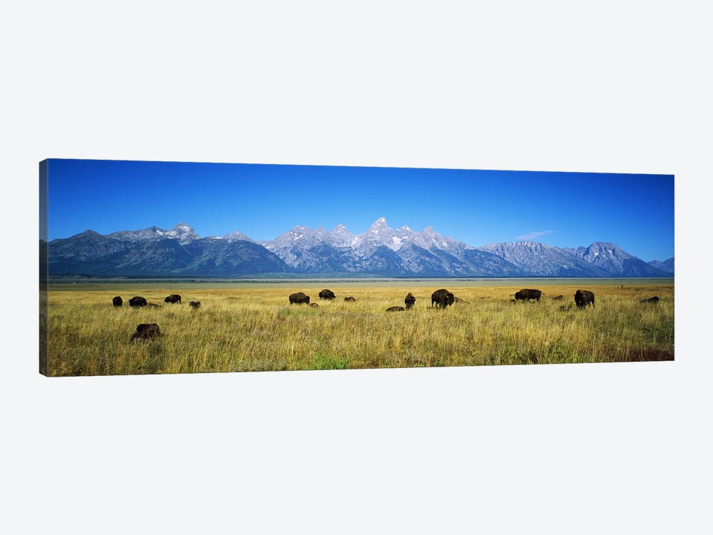 Field of Bison with mountains in backgroundGrand Teton National Park, Wyoming, USA by Panoramic Images 1-piece Canvas Art