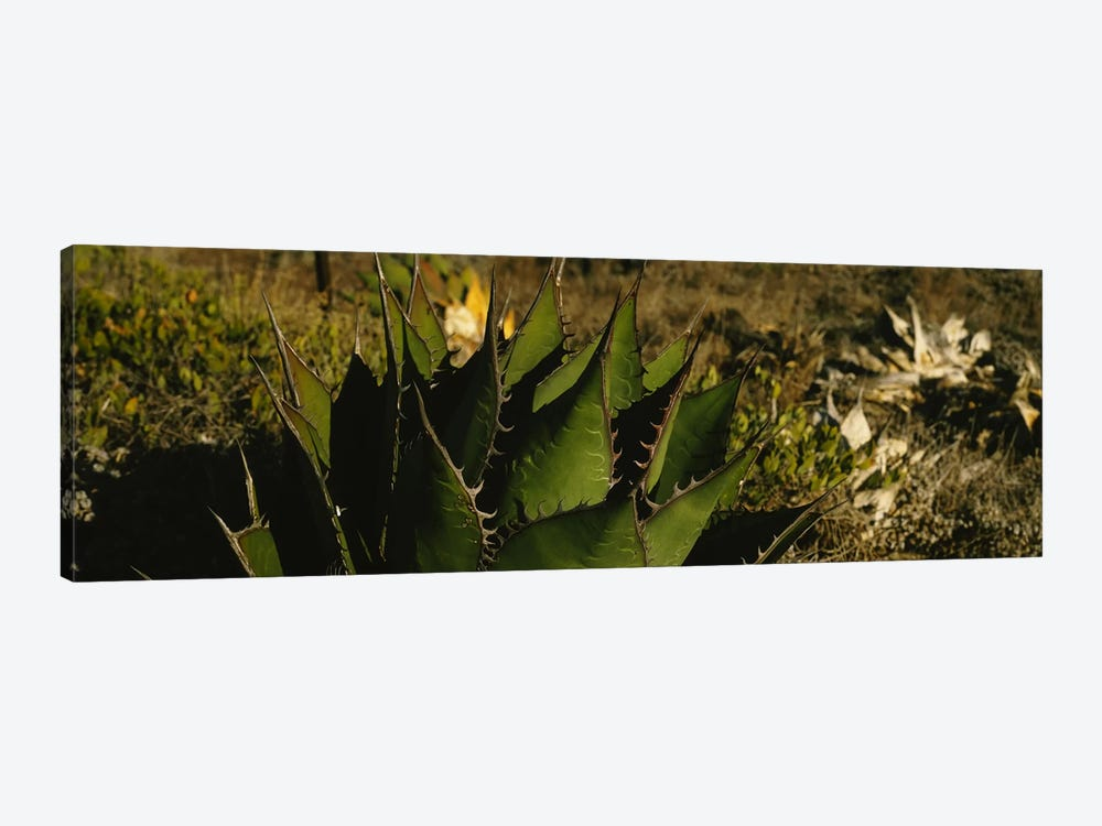 Close-up of an aloe vera plant, Baja California, Mexico by Panoramic Images 1-piece Art Print