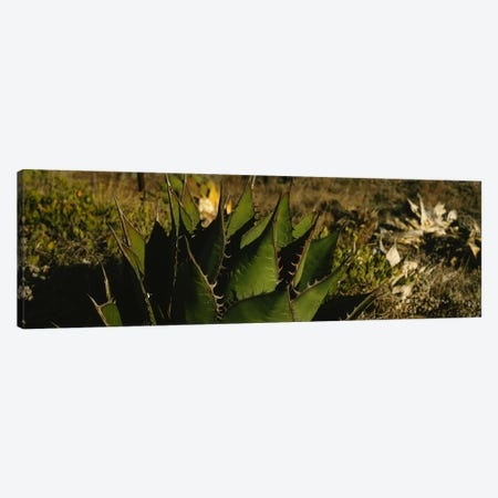Close-up of an aloe vera plant, Baja California, Mexico 3-Piece Canvas #PIM6341} by Panoramic Images Canvas Art Print
