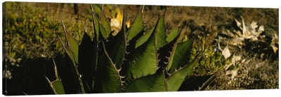 Close-up of an aloe vera plant, Baja California, Mexico Canvas Art Print