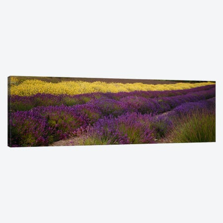 Lavender and Yellow Flower fields, Sequim, Washington, USA Canvas Print #PIM6347} by Panoramic Images Canvas Artwork