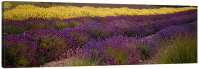 Lavender and Yellow Flower fields, Sequim, Washington, USA Canvas Art Print