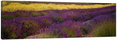 Lavender and Yellow Flower fields, Sequim, Washington, USA Canvas Print #PIM6347