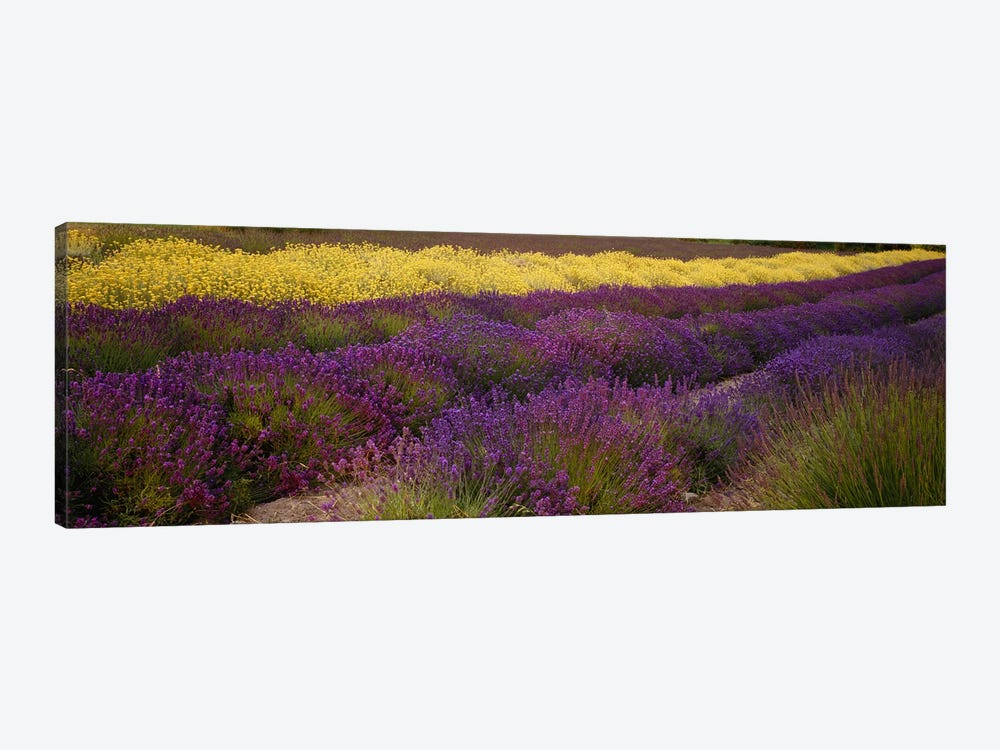 Lavender and Yellow Flower fields, Sequim, Washington, USA by Panoramic Images 1-piece Canvas Print