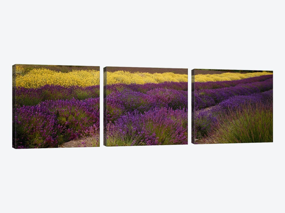 Lavender and Yellow Flower fields, Sequim, Washington, USA by Panoramic Images 3-piece Art Print