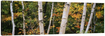 Birch trees in a forest, New Hampshire, USA Canvas Print #PIM6358