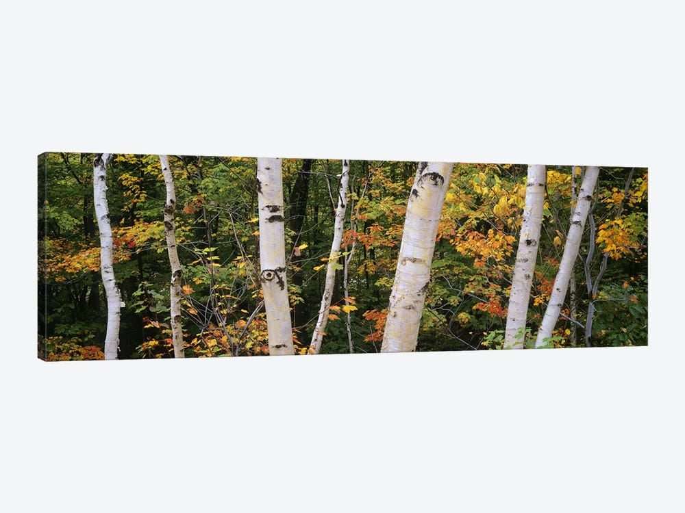 Birch trees in a forest, New Hampshire, USA by Panoramic Images 1-piece Canvas Print