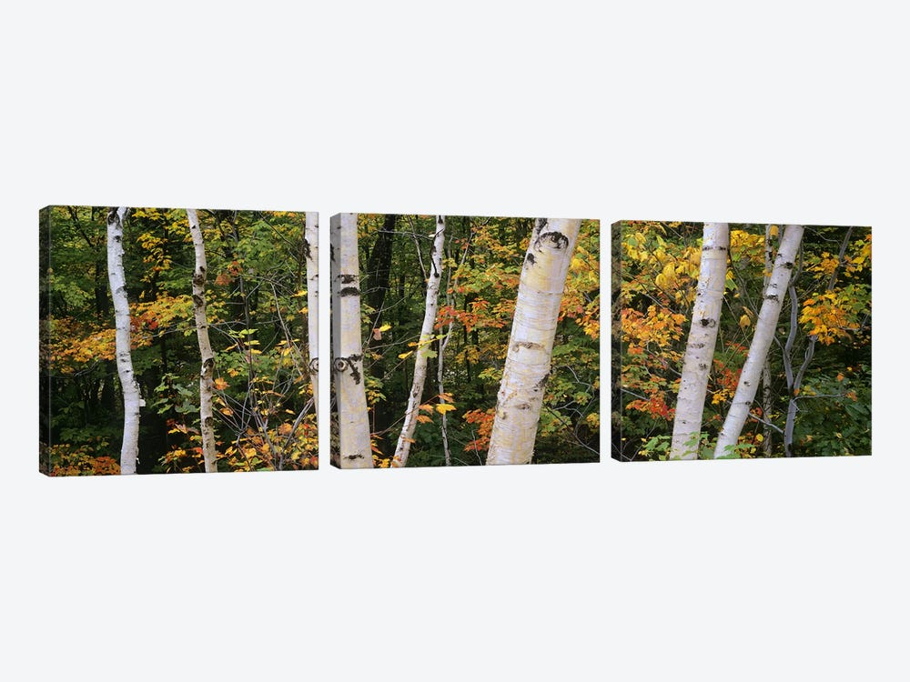 Birch trees in a forest, New Hampshire, USA by Panoramic Images 3-piece Canvas Art Print