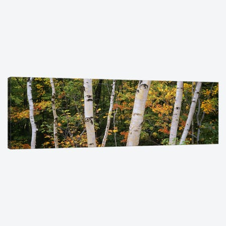Birch trees in a forest, New Hampshire, USA Canvas Print #PIM6358} by Panoramic Images Canvas Artwork
