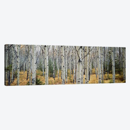 Aspen trees in a forest Alberta, Canada Canvas Print #PIM6360} by Panoramic Images Canvas Art Print