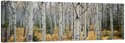 Aspen trees in a forest Alberta, Canada Canvas Art Print