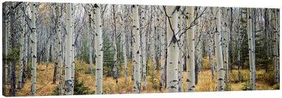 Aspen trees in a forest Alberta, Canada Canvas Art Print