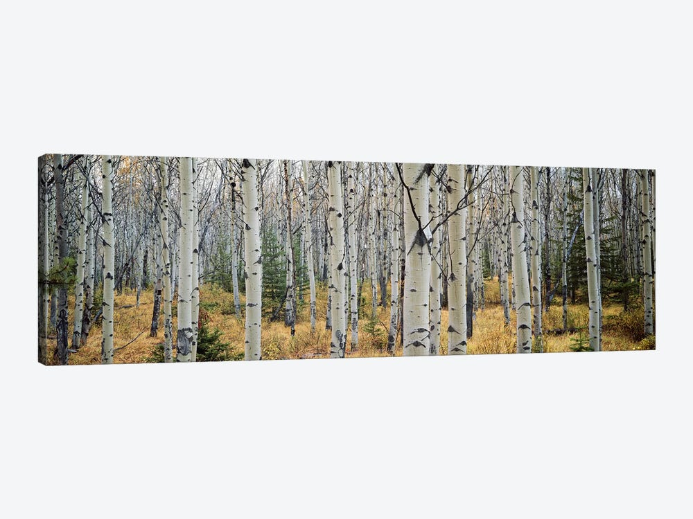 Aspen trees in a forest Alberta, Canada by Panoramic Images 1-piece Canvas Art