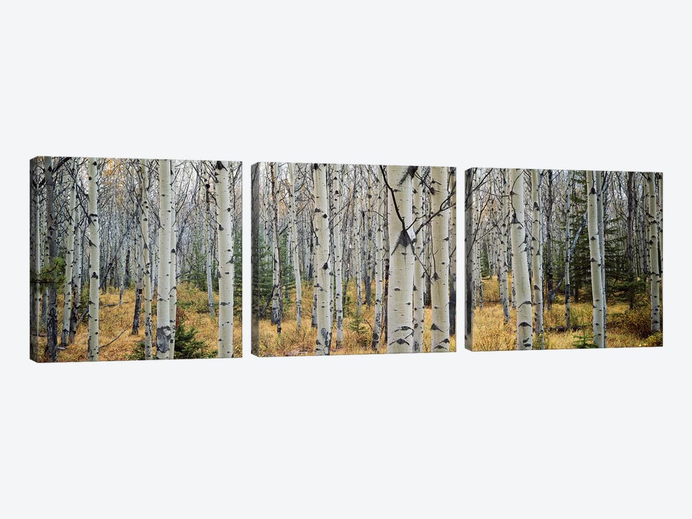 Aspen trees in a forest Alberta, Canada by Panoramic Images 3-piece Canvas Wall Art