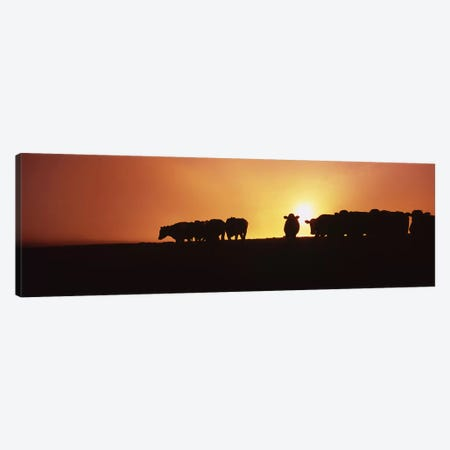 Silhouette of cows at sunset, Point Reyes National Seashore, California, USA Canvas Print #PIM6474} by Panoramic Images Canvas Art