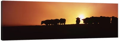 Silhouette of cows at sunset, Point Reyes National Seashore, California, USA Canvas Art Print