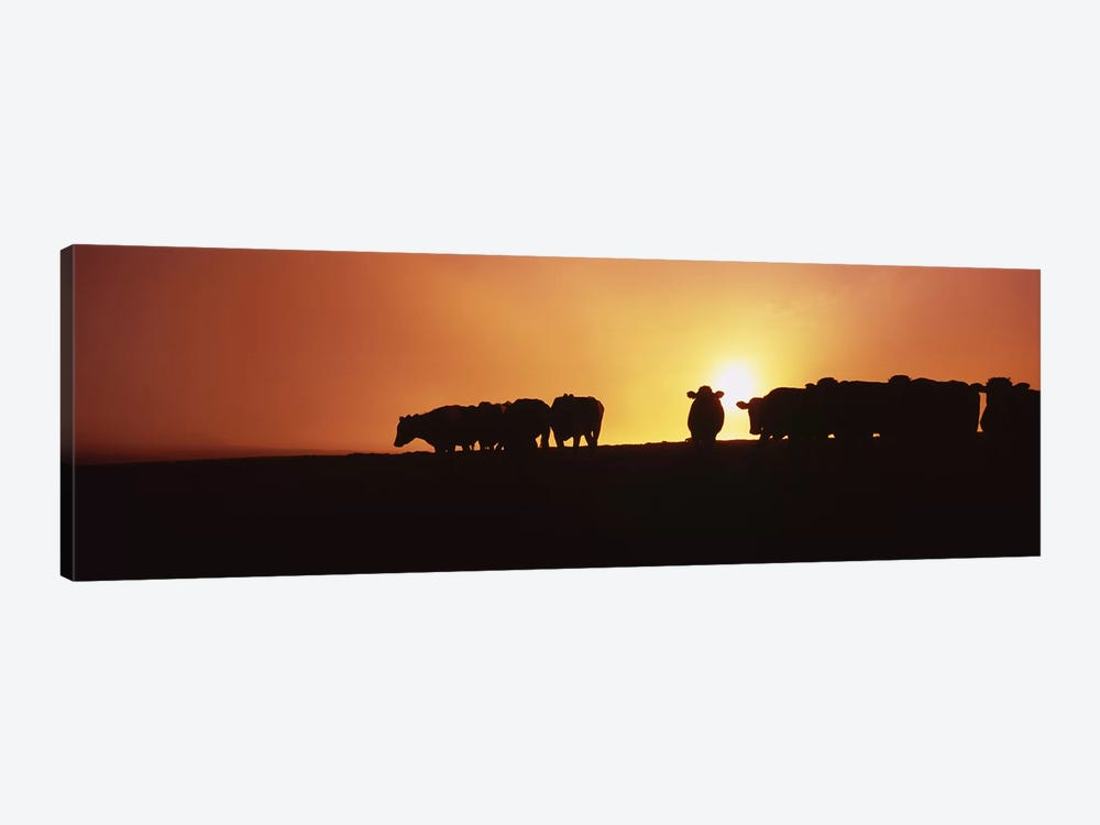 Silhouette of cows at sunset, Point Reyes National Seashore, California, USA by Panoramic Images 1-piece Canvas Art