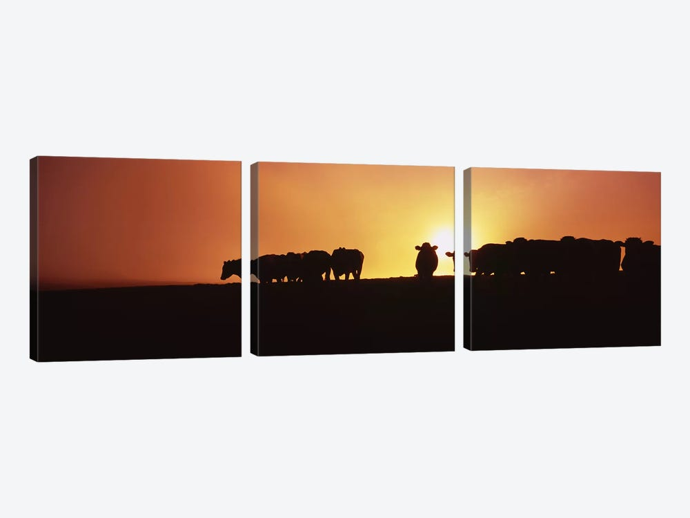 Silhouette of cows at sunset, Point Reyes National Seashore, California, USA by Panoramic Images 3-piece Canvas Art