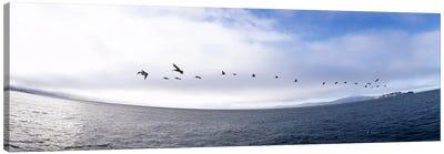 Pelicans flying over the sea, Alcatraz, San Francisco, California, USA Canvas Print #PIM6486