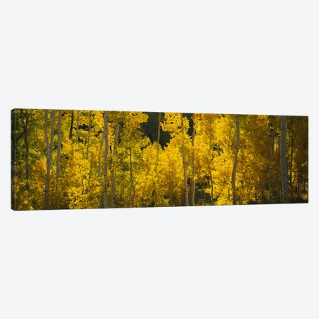 Aspen trees in a forestTelluride, San Miguel County, Colorado, USA Canvas Print #PIM6510} by Panoramic Images Canvas Wall Art