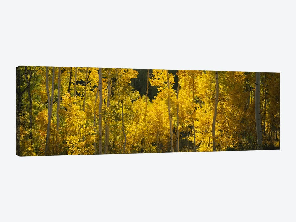 Aspen trees in a forestTelluride, San Miguel County, Colorado, USA by Panoramic Images 1-piece Canvas Art Print