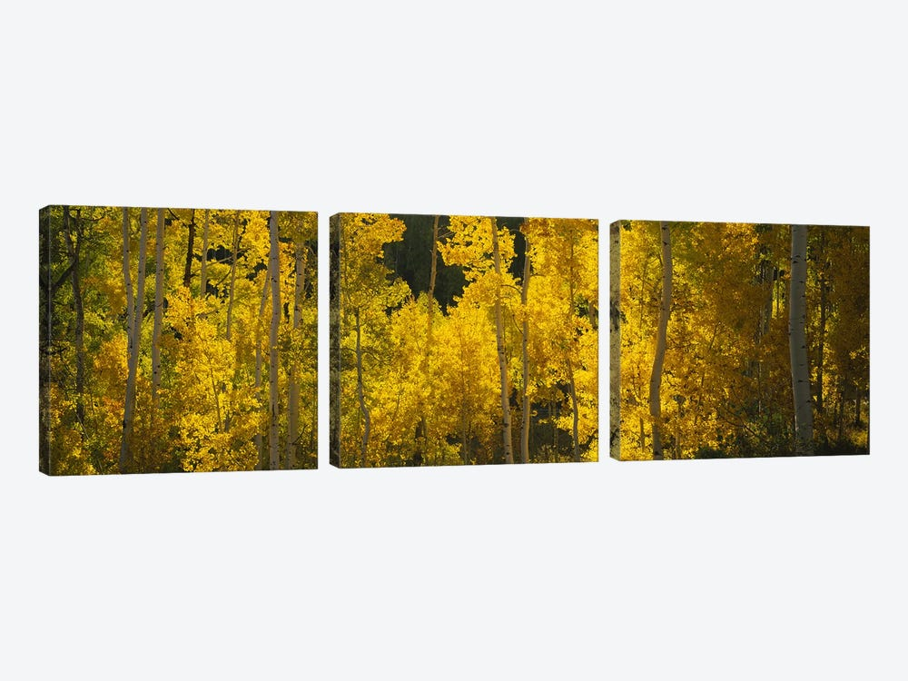Aspen trees in a forestTelluride, San Miguel County, Colorado, USA by Panoramic Images 3-piece Canvas Print
