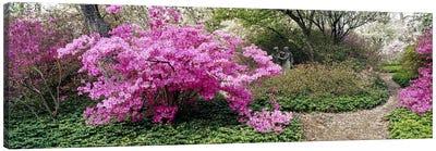 Azalea flowers in a gardenGarden of Eden, Ladew Topiary Gardens, Monkton, Baltimore County, Maryland, USA Canvas Print #PIM6517