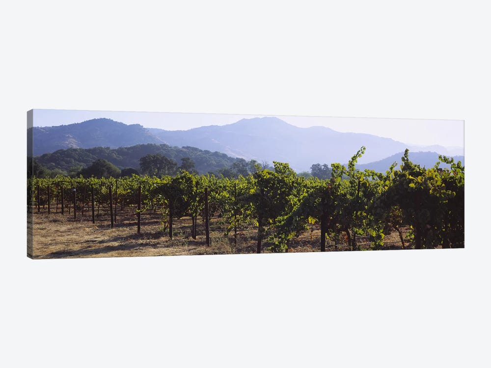 Vineyard Landscape, Napa Valley AVA, Napa County, California, USA by Panoramic Images 1-piece Art Print