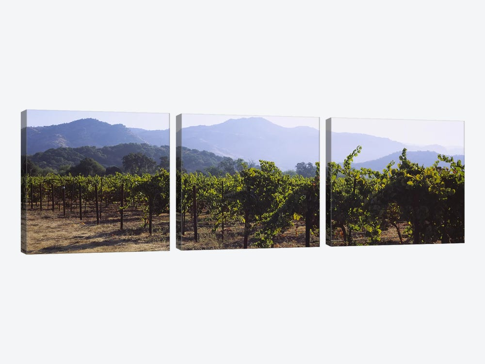 Vineyard Landscape, Napa Valley AVA, Napa County, California, USA by Panoramic Images 3-piece Canvas Print