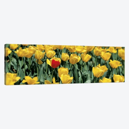 Yellow tulips in a field Canvas Print #PIM6611} by Panoramic Images Canvas Art Print