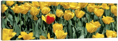 Yellow tulips in a field Canvas Print #PIM6611