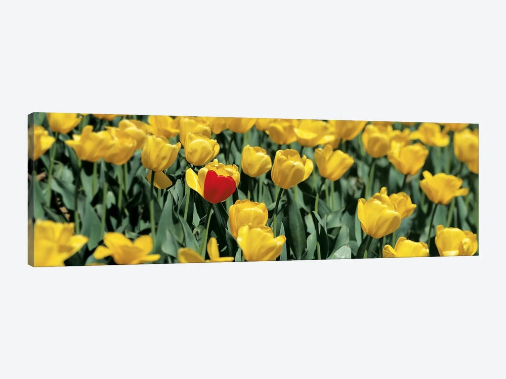 Yellow tulips in a field by Panoramic Images 1-piece Canvas Artwork